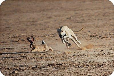 Chó Săn bắt Thỏ