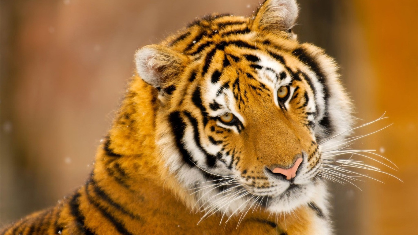 cute-tiger-wallpaper